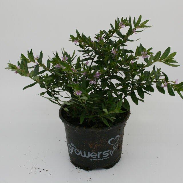 Japansk Myrte - Cuphea hyssopifolia Rosa
