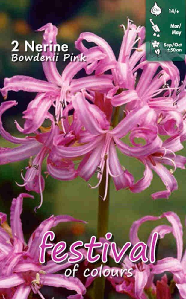 Nerine Pink Bowdenii 12/14