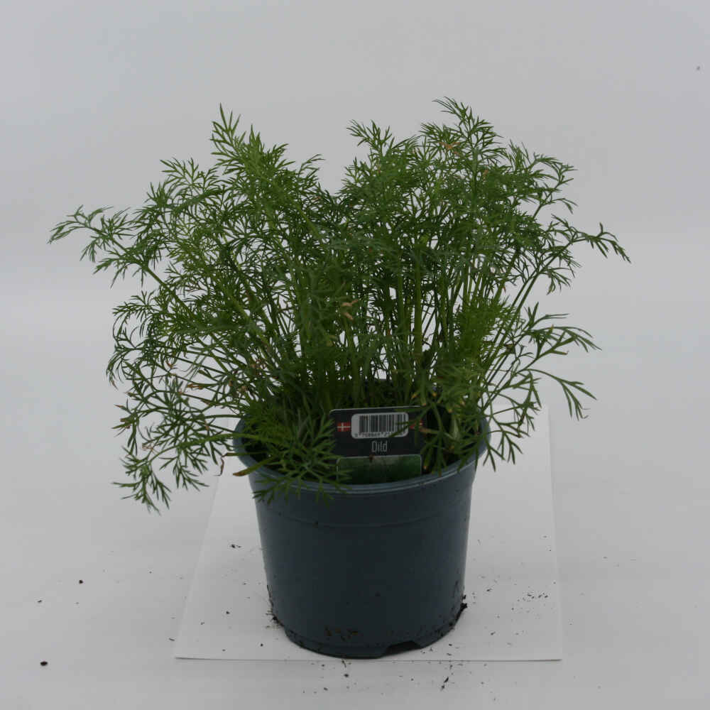 Dild - Anethum graveolens- 10cm potte