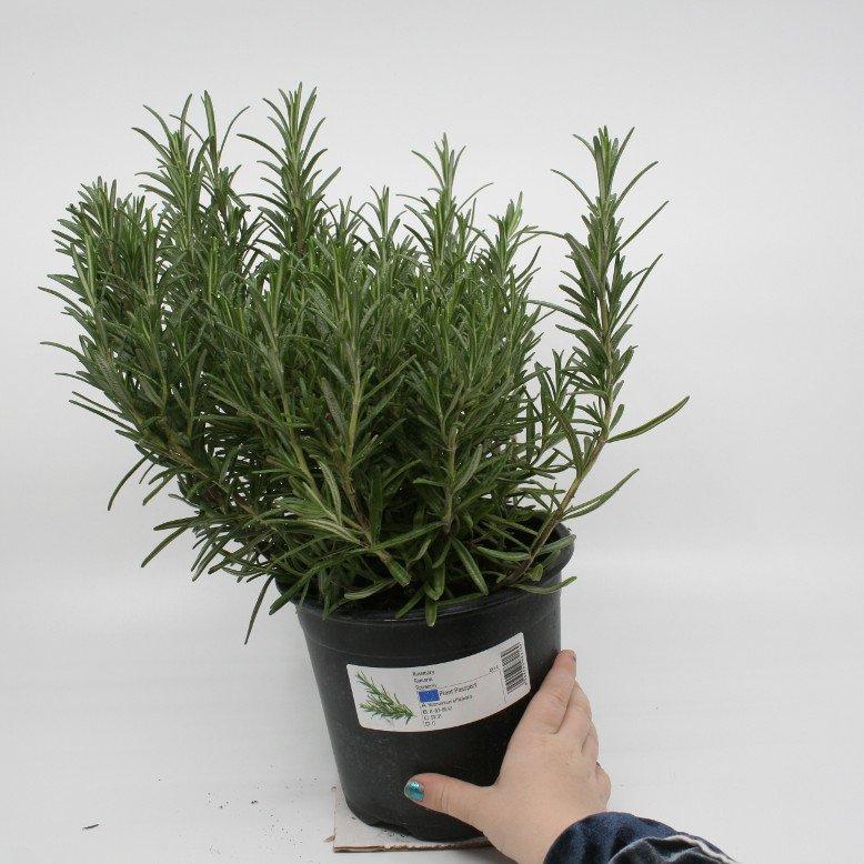 Rosmarin - Rosmarinus officinalis - 14cm potte