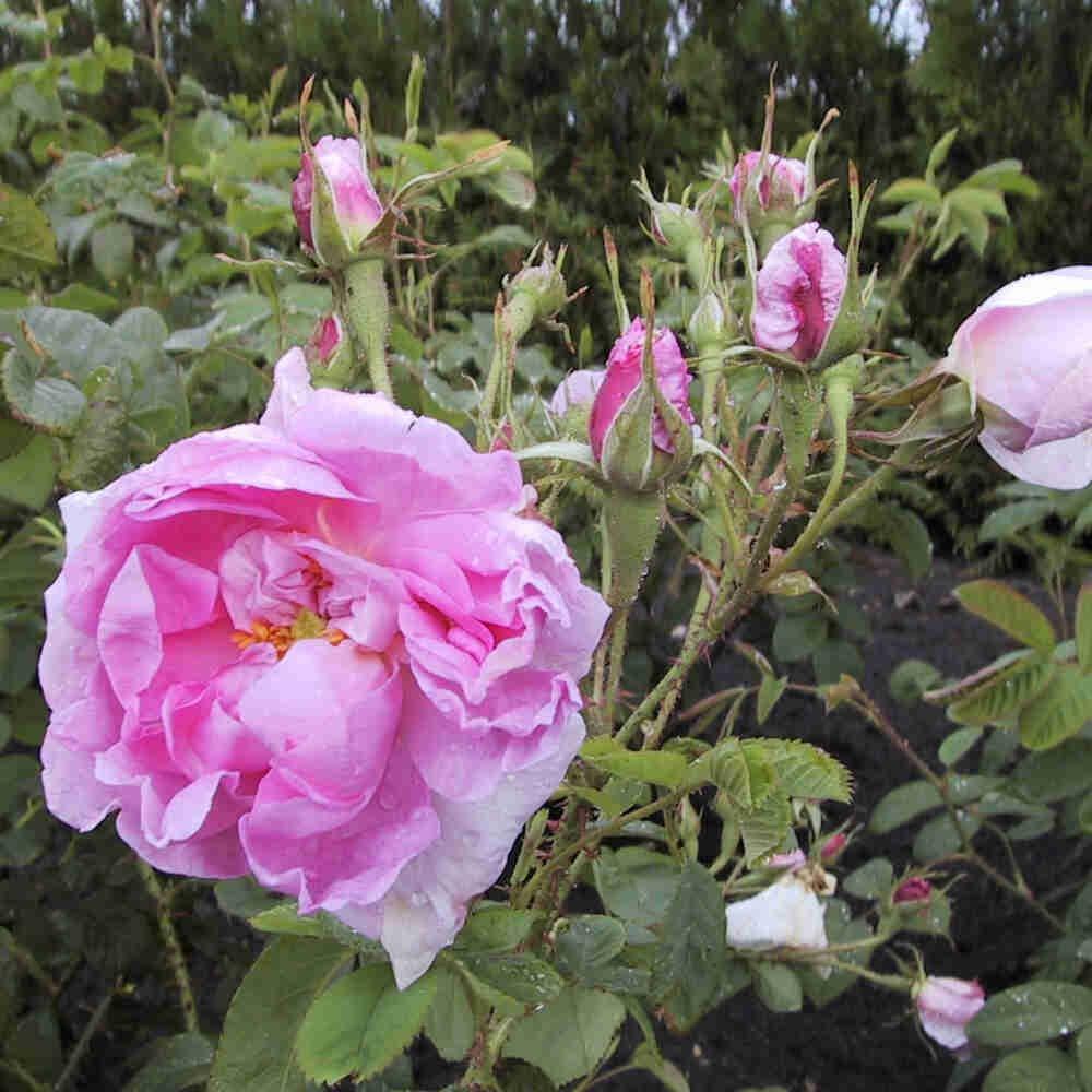 Historisk rose 'Trigintipetala'