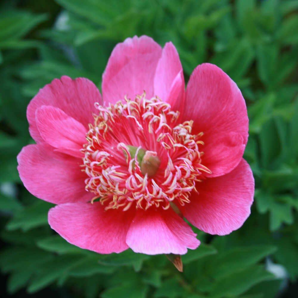 Bonderose paeonia officinalis anemoniflora i blomst