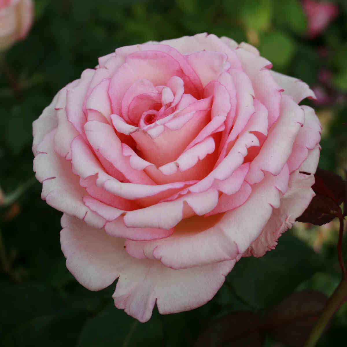 Rose 'Souvenir de Baden Baden'