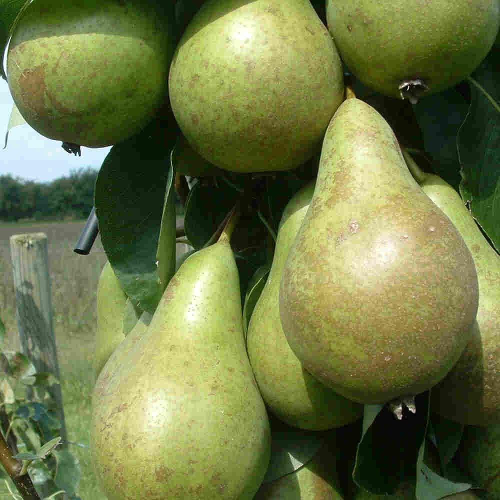Familie pæretræ - Pyrus communis 3-podet
