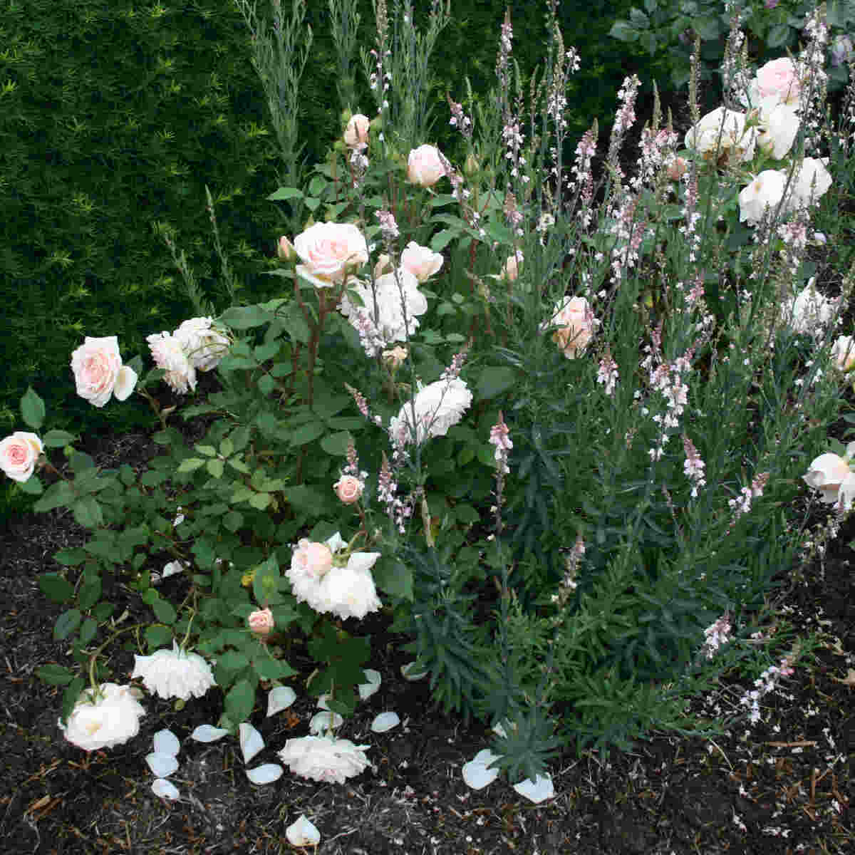 Claire de lune blomster i Laubjergs Rosenhave