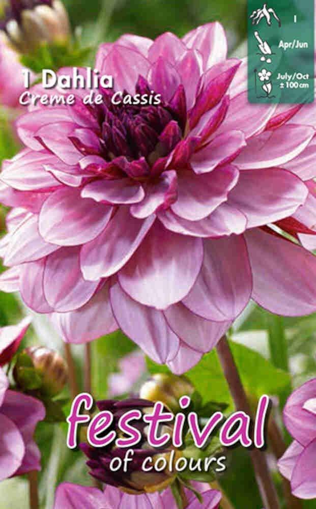 Dahlia 'Creme de Cassis'