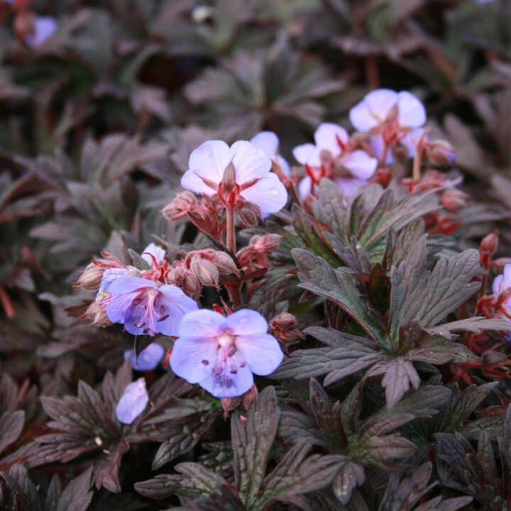 Storkenæb - Geranium pratense 'Midnight Reiter'