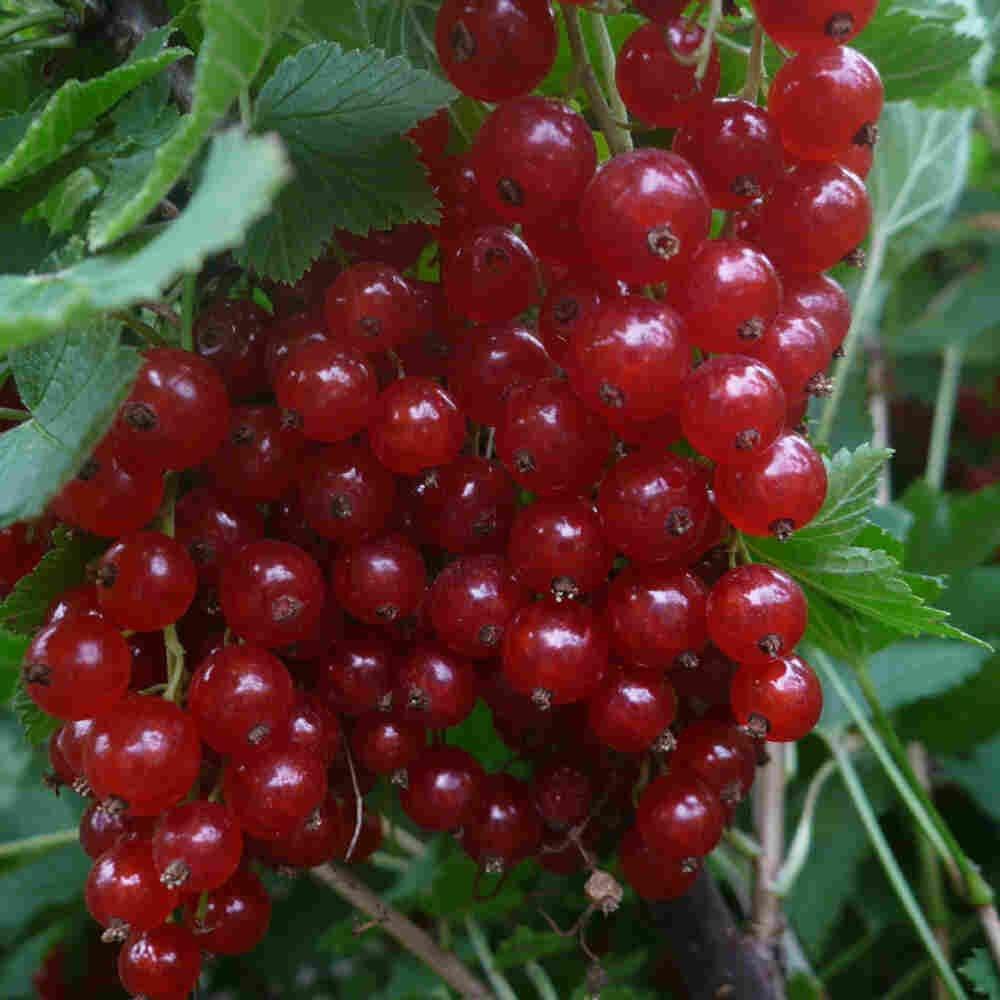 Ribsbusk - Ribes rubrum 'Rosetta'