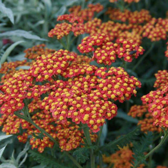 Røllike - Achillea millefolium 'Walter Funke'