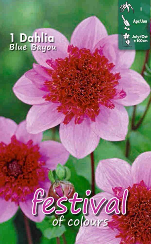 Dahlia Blue Bayou Anemone flowered