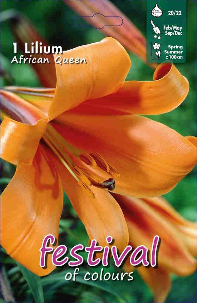 Lilje - Lilium African Queen Aurelian (x1) 20/22