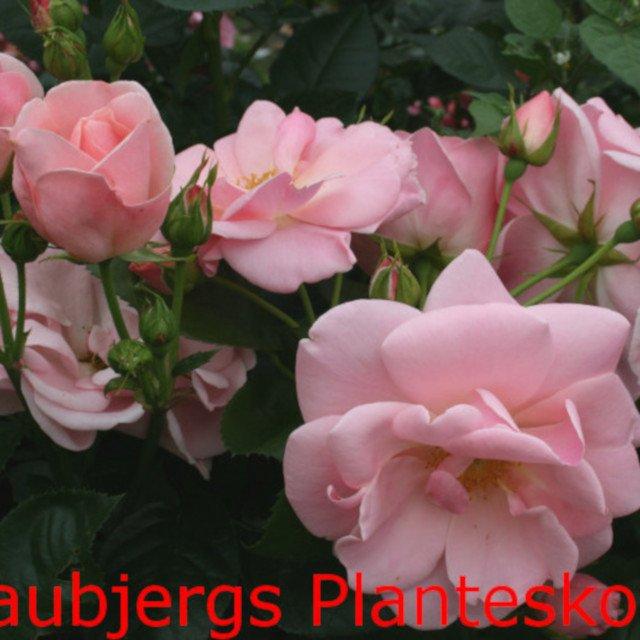 Rose 'Astrid Lindgren'