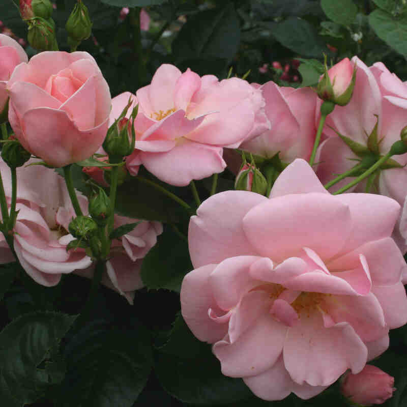 Astrid Lindgren rose blomster