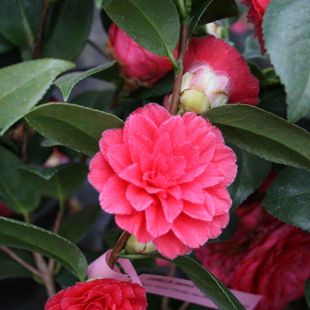 Kamelia - Camellia japonica 'Il Tramonto'