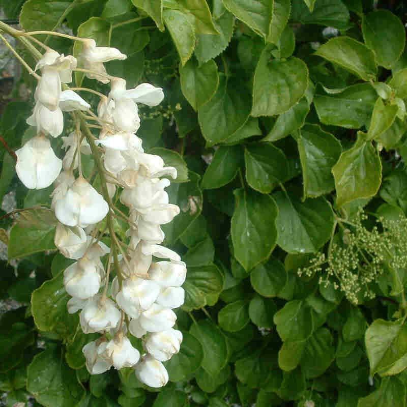 Blåregn - Wisteria floribunda 'Longissima alba'