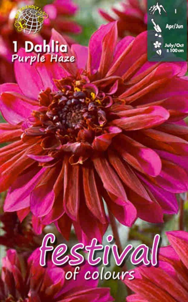 Dahlia 'Purple Haze Anemone'