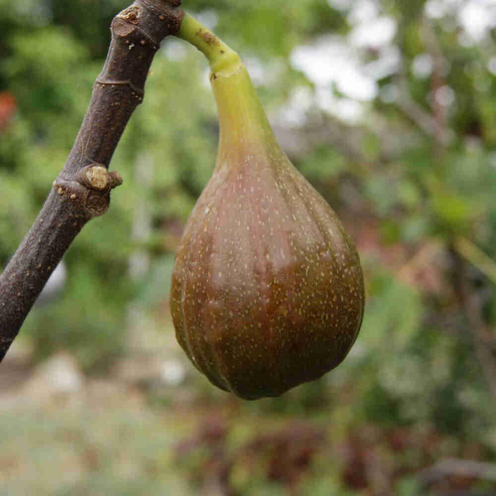 Figen - Ficus 'Precose de dalmatie'