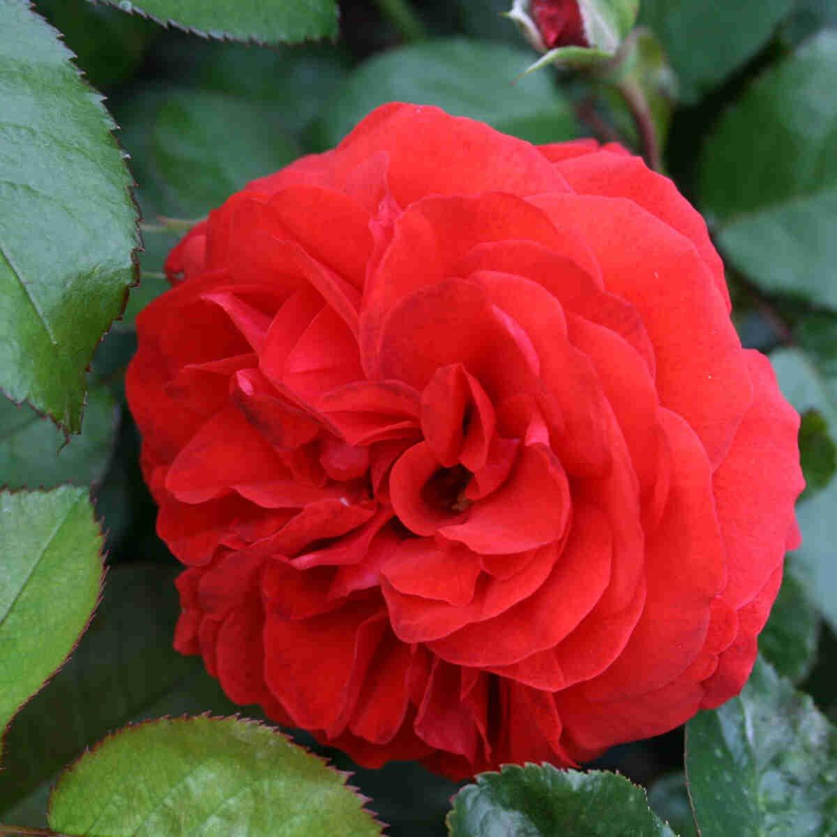 Rose 'Scarlet Bonica'
