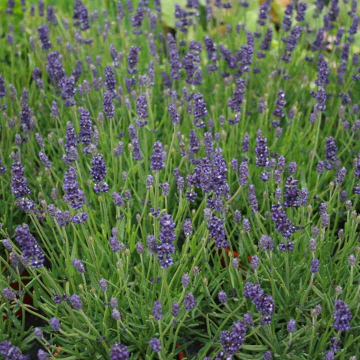 Lavendel - Lavandula angustifolia 'Hidcote Blue' - 10cm potte