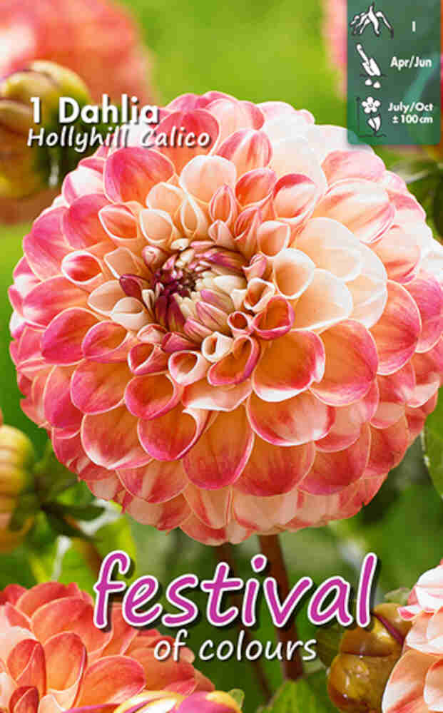 Dahlia Holly hill Calico Ball