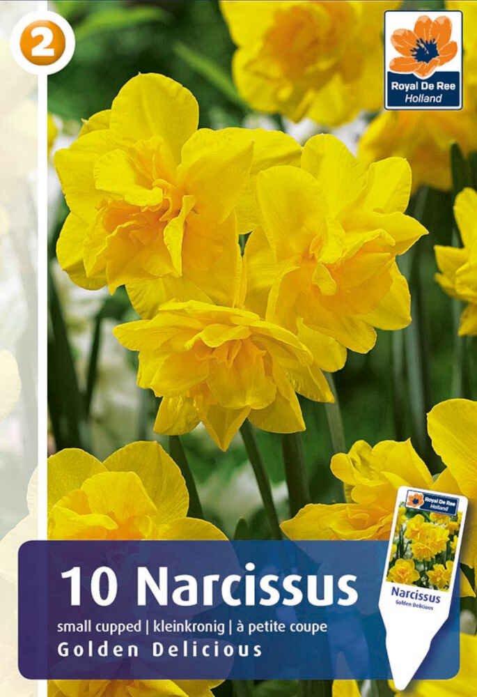 Påskelilje - Narcissus Golden Delicious 10/12