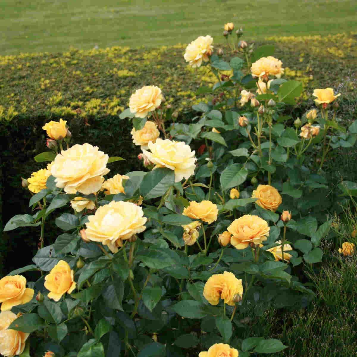 Gule blomster i Absolutely Fabolous i Laubjergs Rosenhave