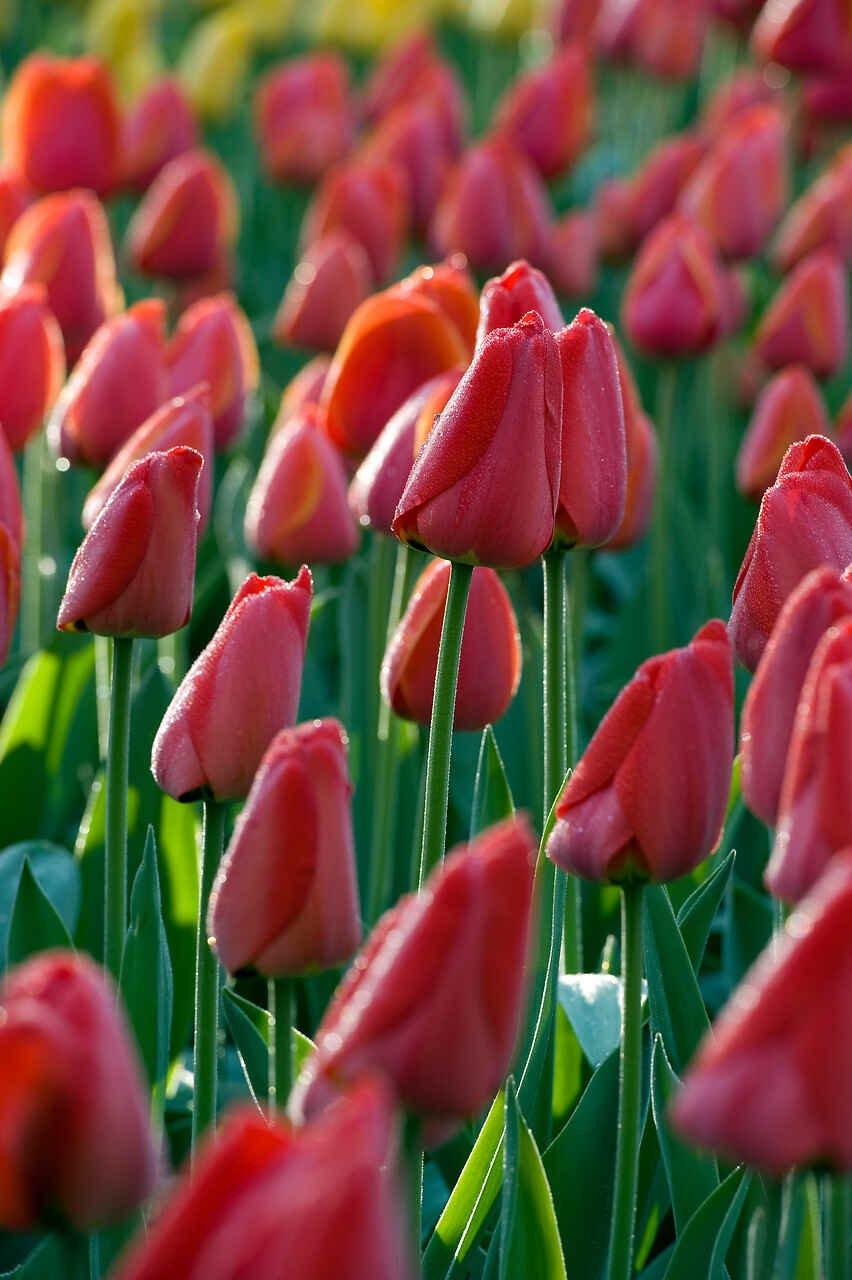 Tulipanløg - Tulipa  Darwin Hybrid Parade (14/+)