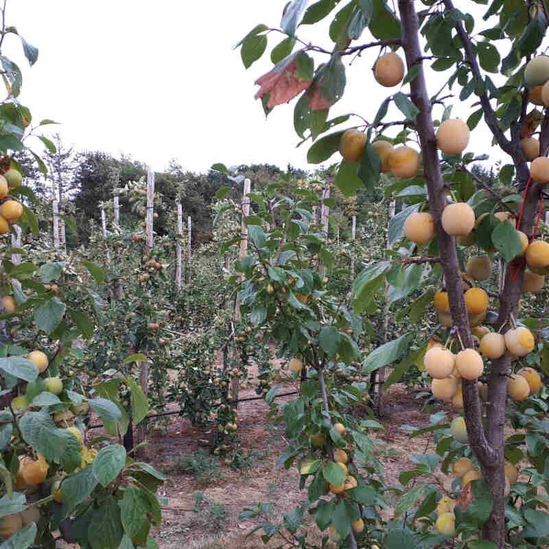 Blommetræ - Prunus domestica 'Reine Claude d'Ouillins'