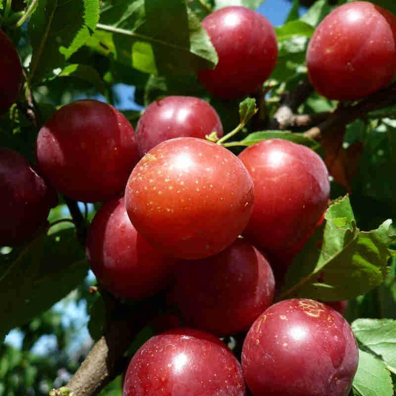 Mirabel - Prunus cerasifera 'Magda Jensen'