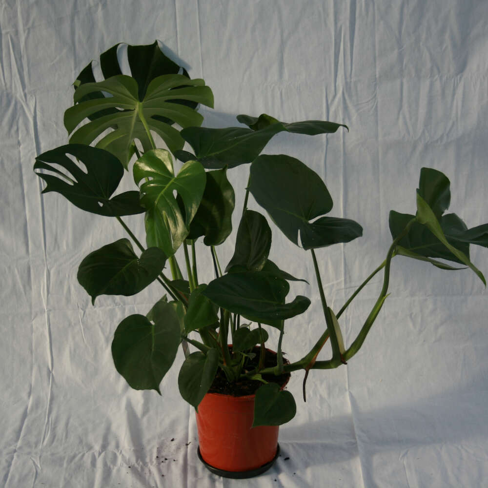 Fingerphilodendron - Monstera deliciosa
