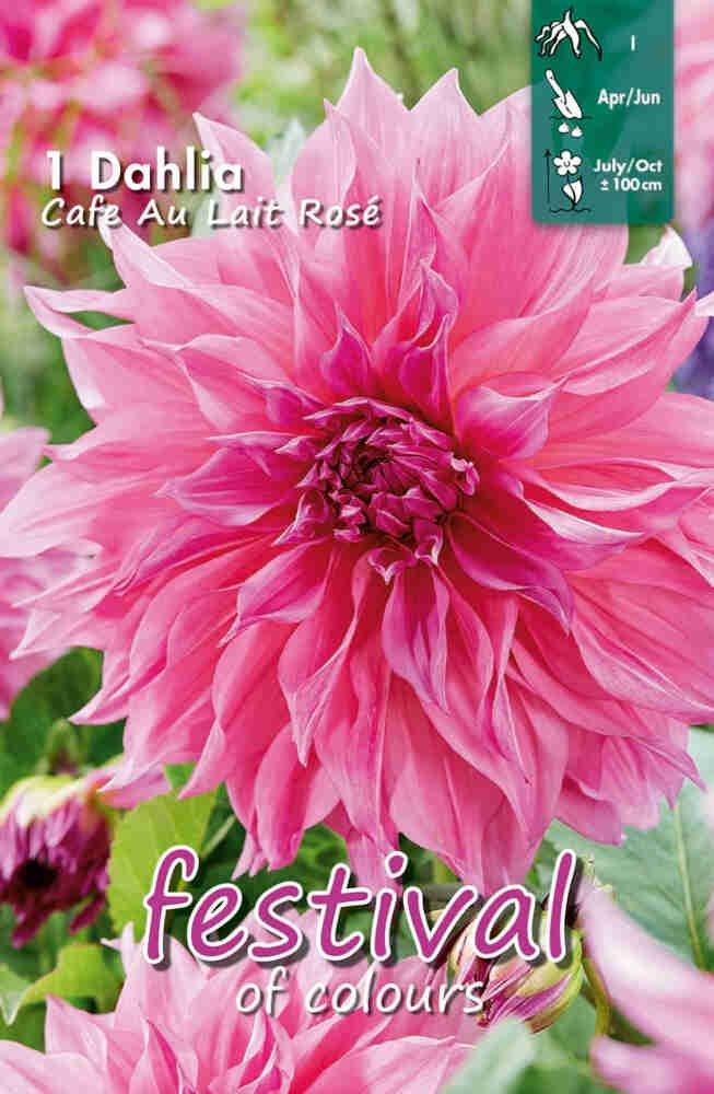 Dahlia Café Au Lait Rosé Large-flowered, NYHED
