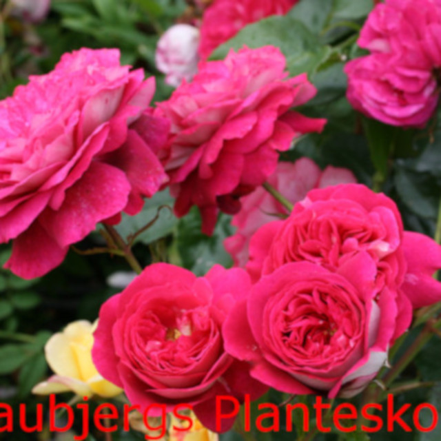 Rose 'Maxim'