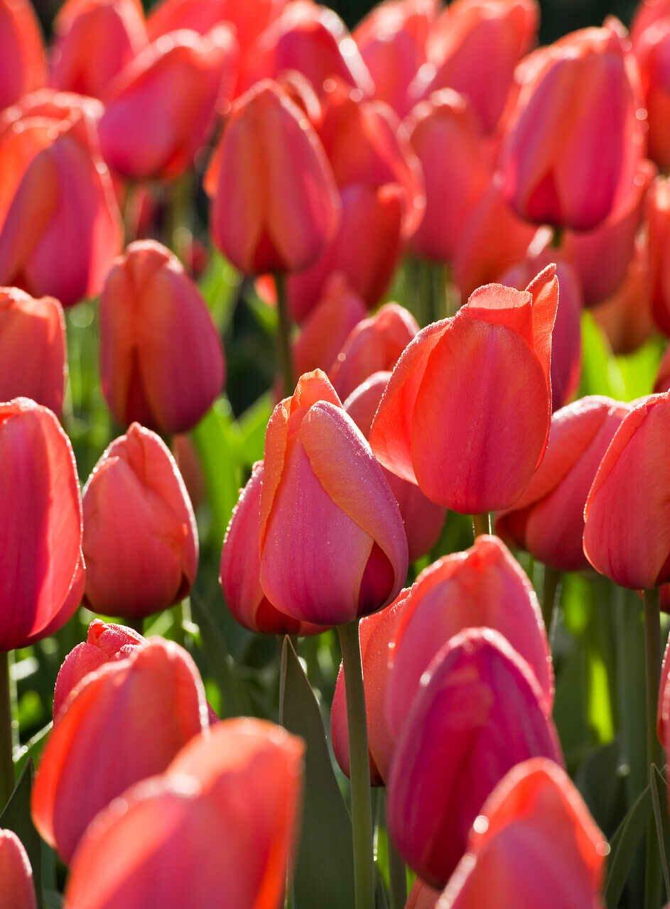 Tulipanløg - Tulipa  Darwin hybrid 'Ad Rem' 12/+