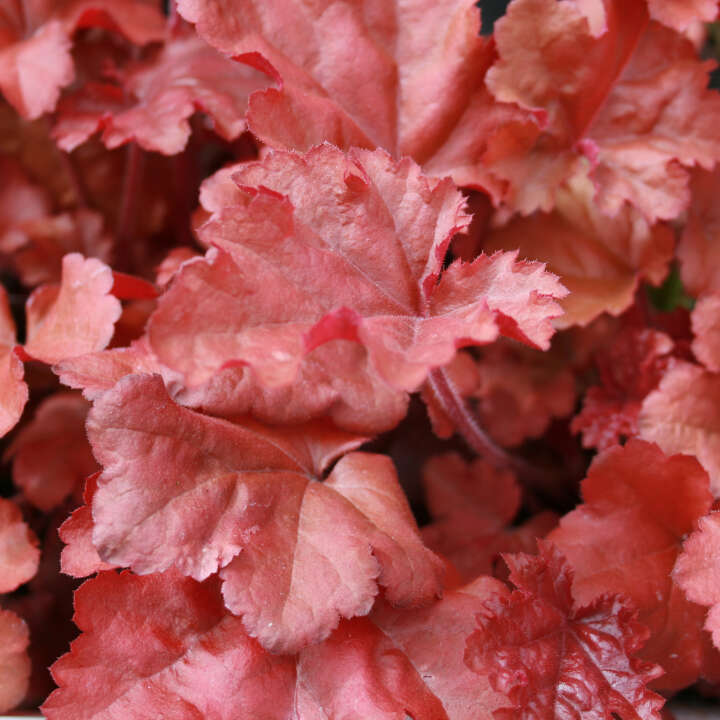 Alunrod - Heuchera hybrid 'Boysenberry'®