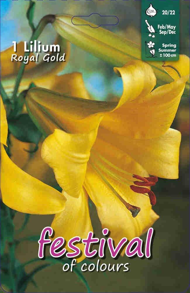 Lilje - Lilium Royal Gold Regale (x1) 20/22