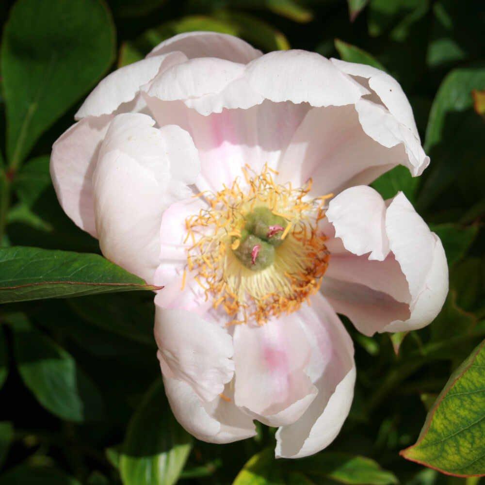 Silkepæon - Paeonia lactiflora 'Cytherea'