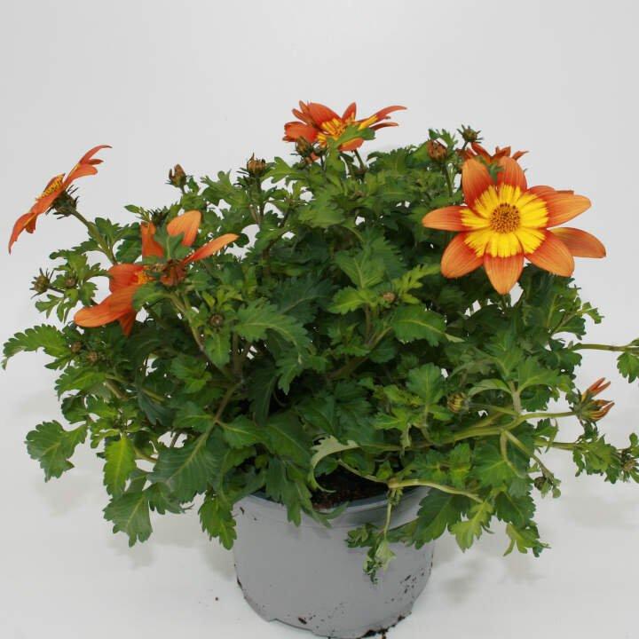 Bidens ferulifolia - Gul orange