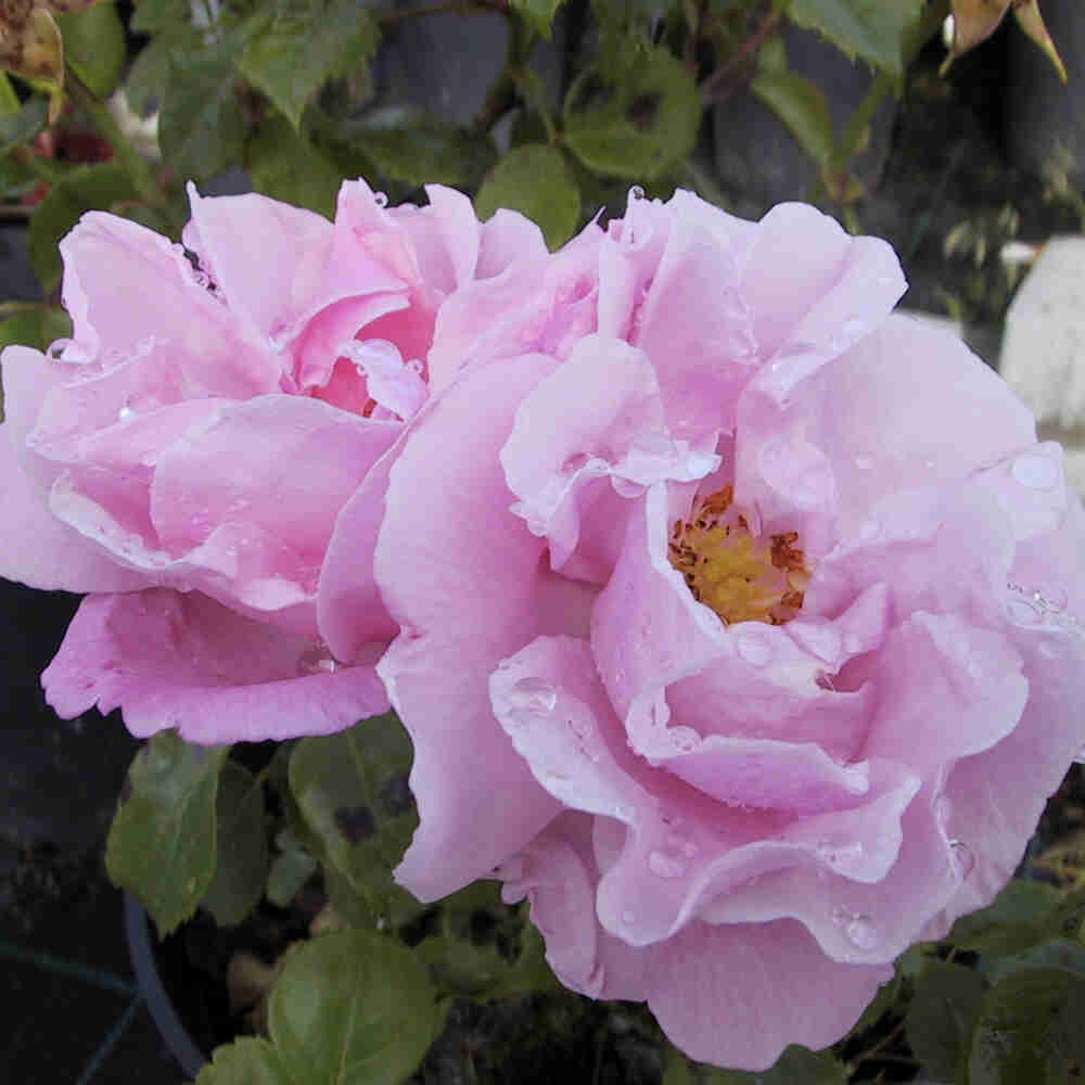 Slyngrose 'Gerbe rose'