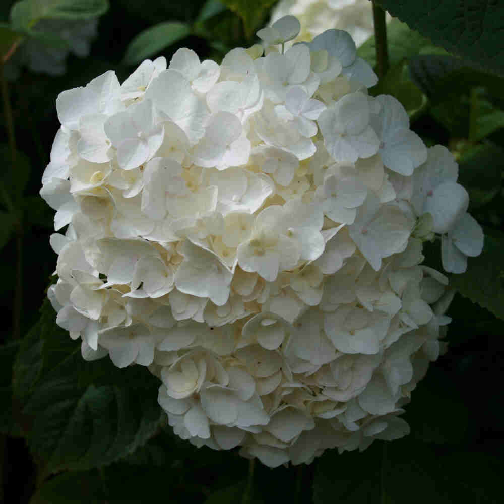 Hortensia - Hydrangea macrophylla 'The Bride'