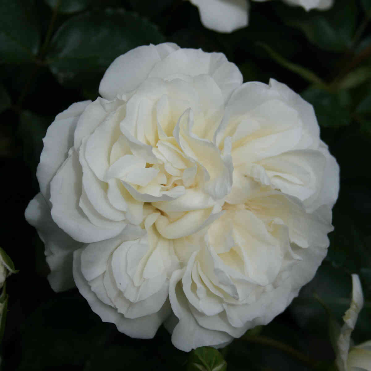 Rose 'White Meidiland'
