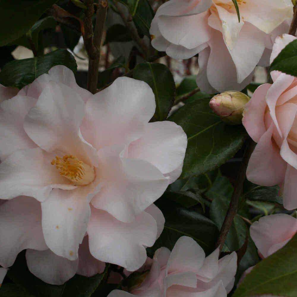 Kamelia - Camellia japonica 'Hagaromo'