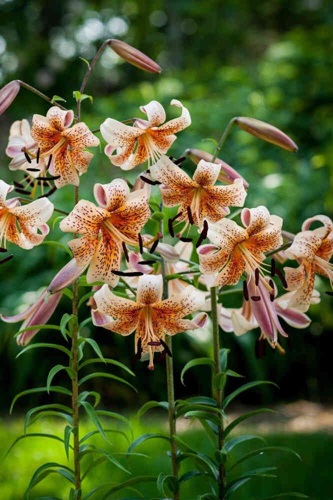Tigerlilje - Lilium asiatic 'Tiger Babies'