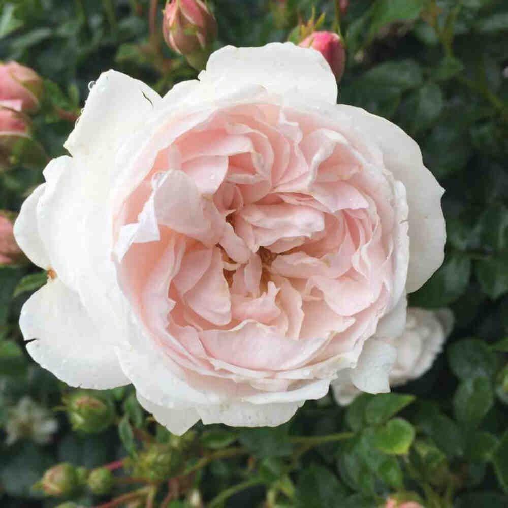 Rose 'Genforenings Rosen'