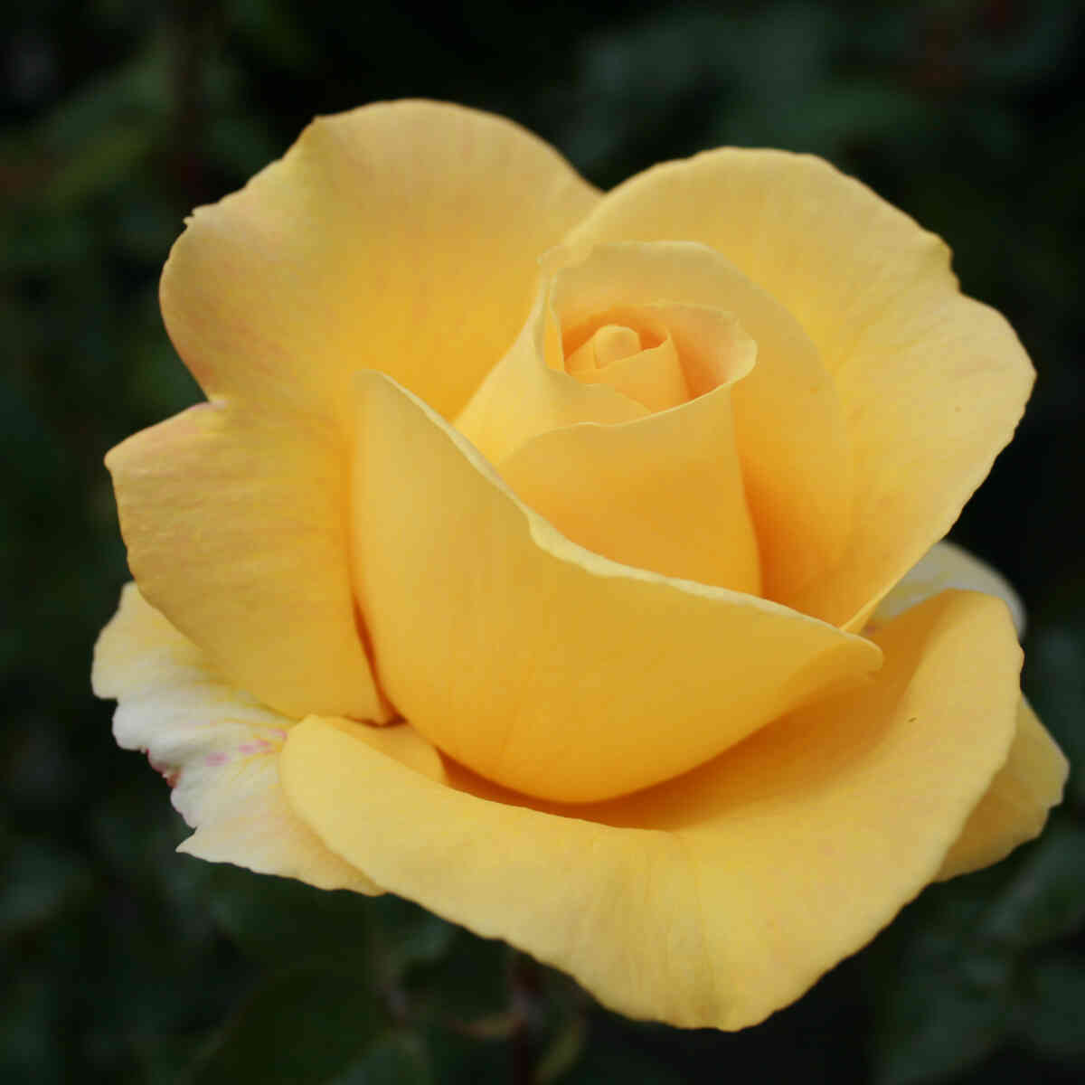 Rose 'Candlelight'