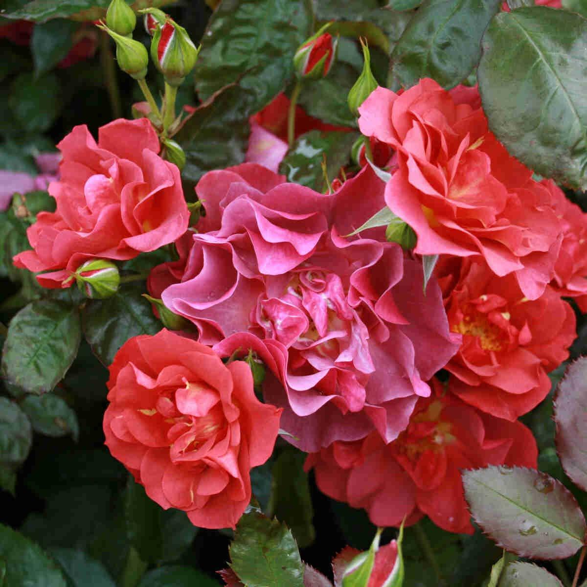 Røde blomster på flere stadier i Celebration time