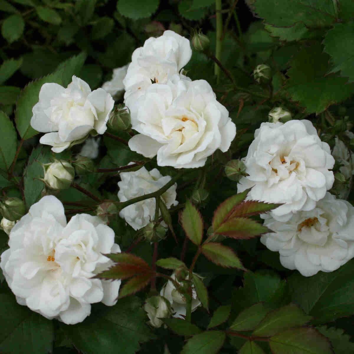 Rosen Alba Meidiland i fuld blomst