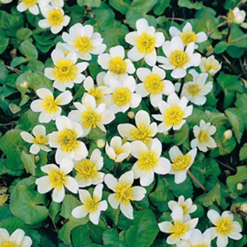Engkabbeleje - Caltha palustris Alba