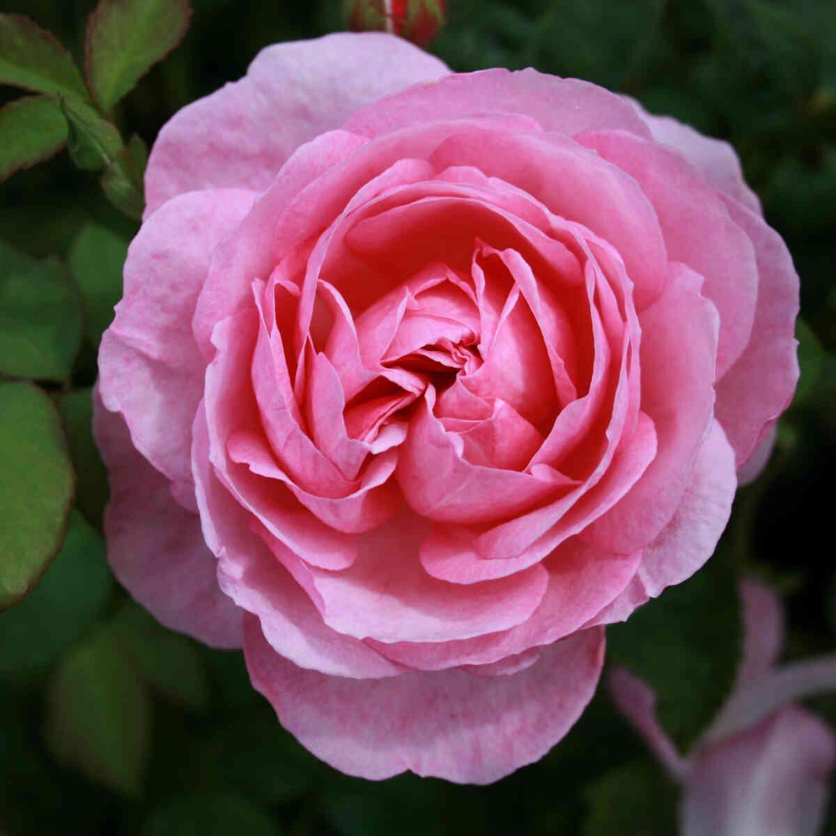 Rose 'Flashlight'