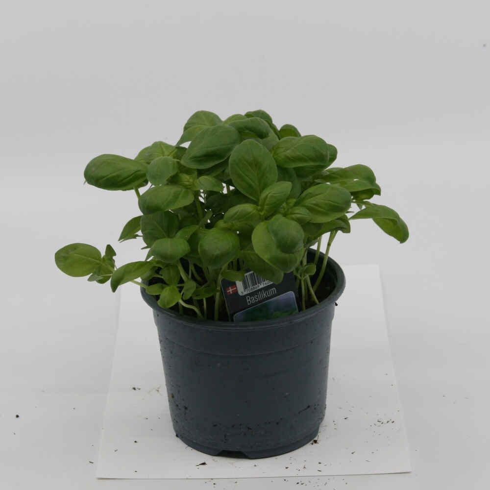 Basilikum almindelig - 10cm potte