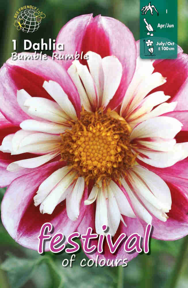 Dahlia Bumble Rumble Collerette, NYHED